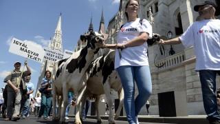 Budapest, 2016. május 23. Az alacsony felvásárlási árak és a feldolgozott tejtermékek áfacsökkentésének elmaradása miatt tiltakozó tejtermelõk demonstrációjának résztvevõi vonulnak teheneikkel az Országház elõtt, az id. Antall József rakparton 2016. május 23-án. MTI Fotó: Kovács Tamás