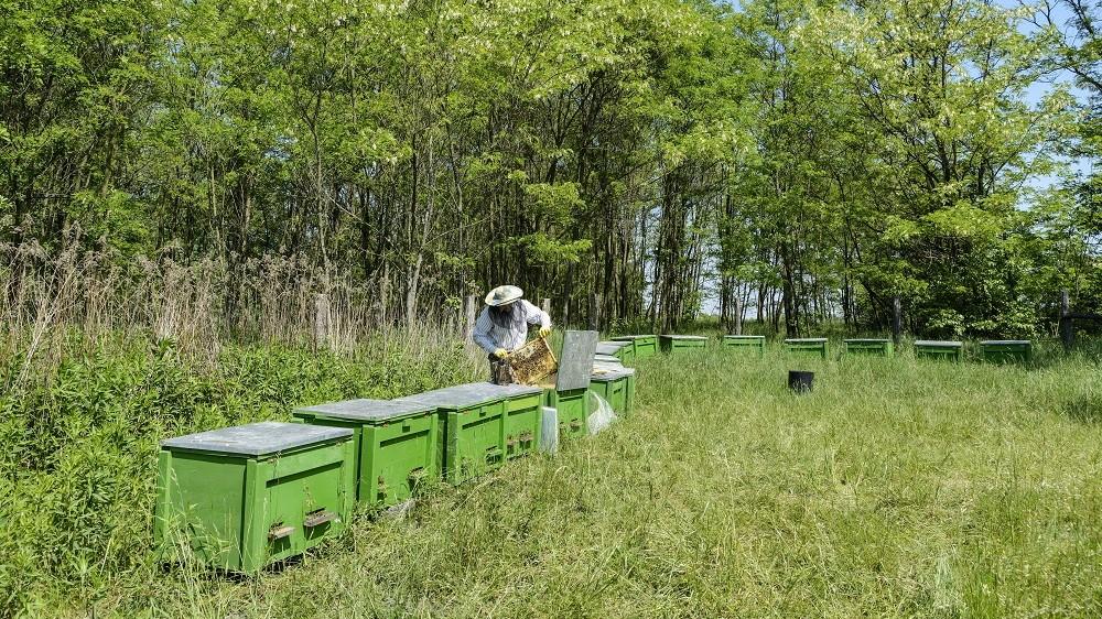 Debrecen, 2014. május 23. Pásztor Zoltán a Debrecen-Nagycsere közelében lévõ méhészetében, egy akácos közelében 2014. május 22-én. A Hungarikum Bizottság 2014. május 16-án hungarikummá nyilvánította az akácfát és az akácmézet, amely kiváló és egyedülállóan népszerû terméke a hazai méhészetnek. MTI Fotó: Czeglédi Zsolt