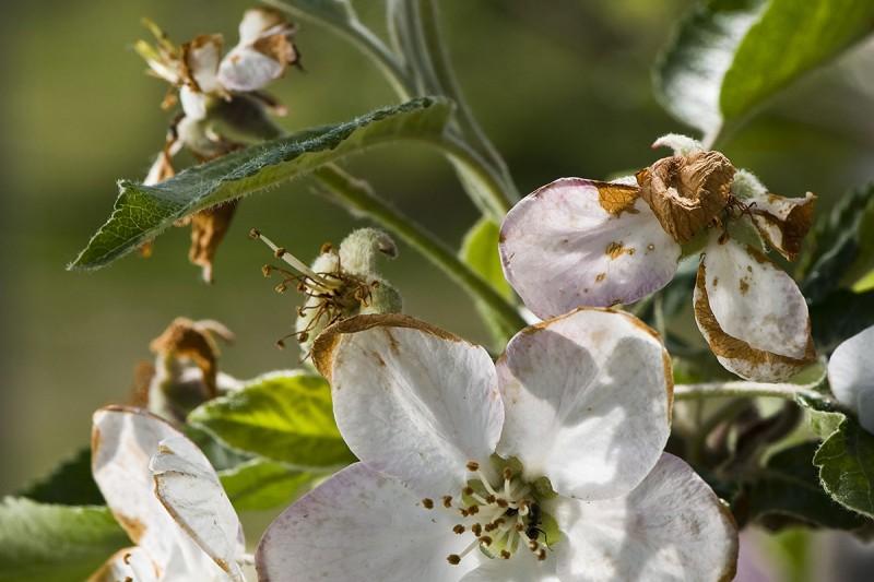 Újfehértó, 2012. április 23.Megfagyott, megbarnult virágok az idared almafán az Újfehértói Gyümölcstermesztési Kutató és Szaktanácsadó Nonprofit Közhasznú Kft. kertjében. A tíz napja történt fagy káraira nehéz még következtetni, az almafák mindenütt virágzanak, sok virágban ugyanakkor károsodtak az ivarszervek, így azokból termés biztosan nem lesz.MTI Fotó: Balázs Attila