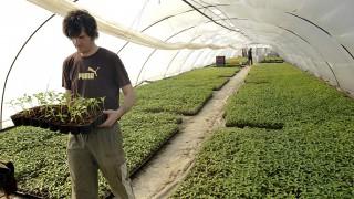 Nagybánhegyes, 2010. március 3.Az alkalmi munkavállalói könyvvel dolgozó Papp Ferenc paprikapalántákat rakodik egy fóliasátorban Nagybánhegyesen. Több tízezer alkalmi munkás foglalkoztatása és több ezer, a napszámosoknak munkát adó mezőgazdasági üzem termelő tevékenysége kerülhet veszélybe 2010 április 1-jén, mivel betarthatatlan az ekkortól hatályba lépő, az egyszerűsített foglalkoztatásról szóló törvény - állítja együttes állásfoglalásában a Magyar Agrárkamara, valamint a Magyar Zöldség- Gyümölcs Szakmaközi Szervezet és Terméktanács (FruitVeB). A köztestület és a FruitVeB közösen kérte a Földművelésügyi és Vidékfejlesztési Minisztériumot, hogy a szakma egyetértése nélkül, a jogszabály ne kerülhessen kihirdetésre. A tárca államtitkárának elmondása szerint a törvény megváltoztatására már nincs lehetőség, de a végrehajtási rendelet megalkotásába bevonják az érintett szakmai szervezeteket.MTI Fotó: Rosta Tibor