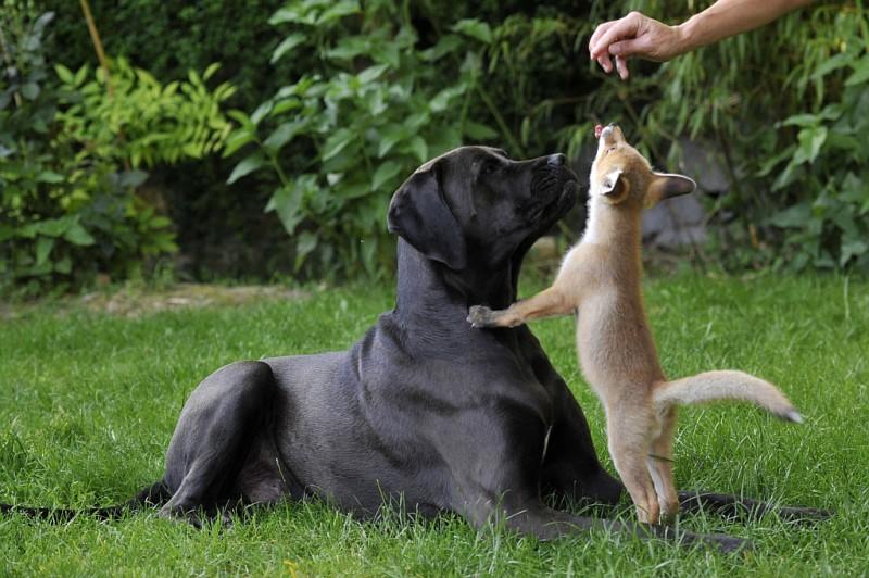 Pixi, a kutyákkal nevelkedő rókakölyök