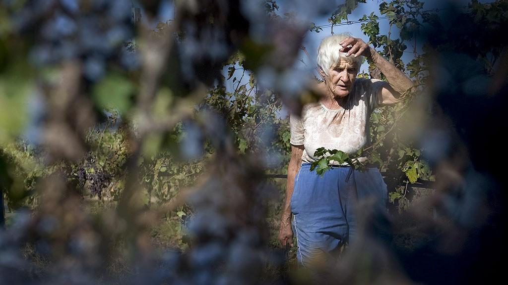 Baja, 2012. október 5.Szüretelő dolgozik a Hajós-Bajai borvidékhez tartozó Sümegi és fiai pincészet ültetvényén 2012. október 4-én Baja határában.MTI Fotó: Ujvári Sándor