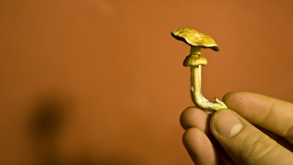 Hand holding a mushroom of the genus Psylocibe.Biosphoto / FranÁois Klein
