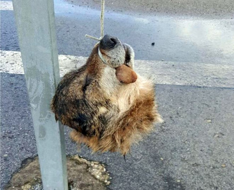 """Pic shows:  the  wolf head.nnA hacked off wolf¿s head was found hanging to a signpost in Spain and is believed to have been put there to send a political message.nnThis is the fourth dead wolf to have been found hanging or on display in the north-western Spanish region of Asturias over the last months.nnThe region is currently at loggerheads between environmentalists wishing to protect the species and farmers complaining about the attacks on their cattle.nnIn March thousands of people gathered to protest in the capital Madrid, asking wolves to become a protected species.nnFarmers currently only have permission to hunt and kill the wild animals that hunt near their land, which according to environmentalists is far from being a solution to the problem.nnIn May, during a meeting of cattle farmers from Ibias in Asturias with their Mayor, one of the farmers locked himself in the offices and demanded that a solution be found for the wolf attacks on his veal calves - 20 so far this year.nnPresident of animal rights group Lobo Marley, Luis Miguel Dominguez, said: """"This wolf head is a political cadaver. It comes to pressure the administration and bare its teeth at conservationists.""""nnThe Association of Private Security Guards of Asturias (AVISPA) denounced the act as """"environmental terrorism"""" and have demanded that the environmental office open an investigation that """"brings down the whole weight of the law upon those responsible.""""nnAside from hailing the act as """"cruelty for wild species for personal gain in a dangerous and unbalanced act of revenge that mirrors more that of a psychopath than rural citizens,"""" AVISPA have also blamed the government for """"looking the other way"""" and being on the fence about finding a solution, choosing instead to play off one side against the other.nnTensions in Asturias continue to rise as a solution to the problem has yet to be found, with animal protection agencies asking for a ban on the killings so that proper measures c"""