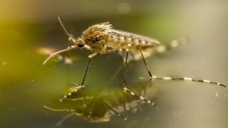 19128876 - korean mosquito, aedes koreicus, accidentally introduced in europe in 2008