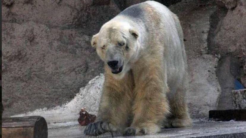 Arturo the ploar bear pictured at the Mendoza zoo in the Argentina. Taken from https://twitter.com/Tequila_Club__/status/484530677459599360/photo/1nnARTURO the Polar Bear