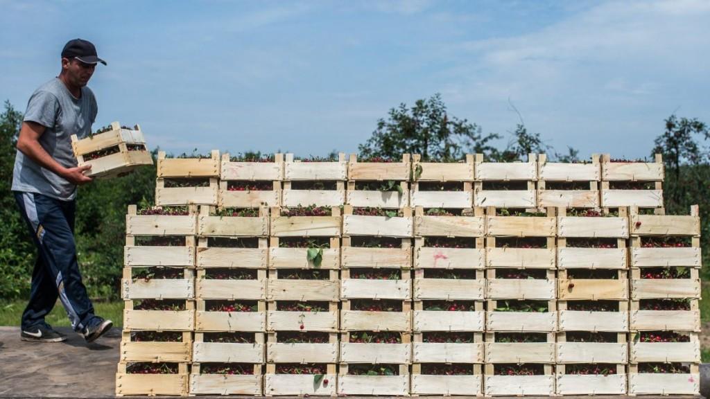Budapest, 2016. június 10. Egy idénymunkás meggyel teli ládákat pakol a Friss Gyümölcs Kft. keceli ültetvényén 2016. június 10-én. MTI Fotó: Ujvári Sándor
