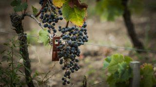 Southwestern France, close-up of grapevine