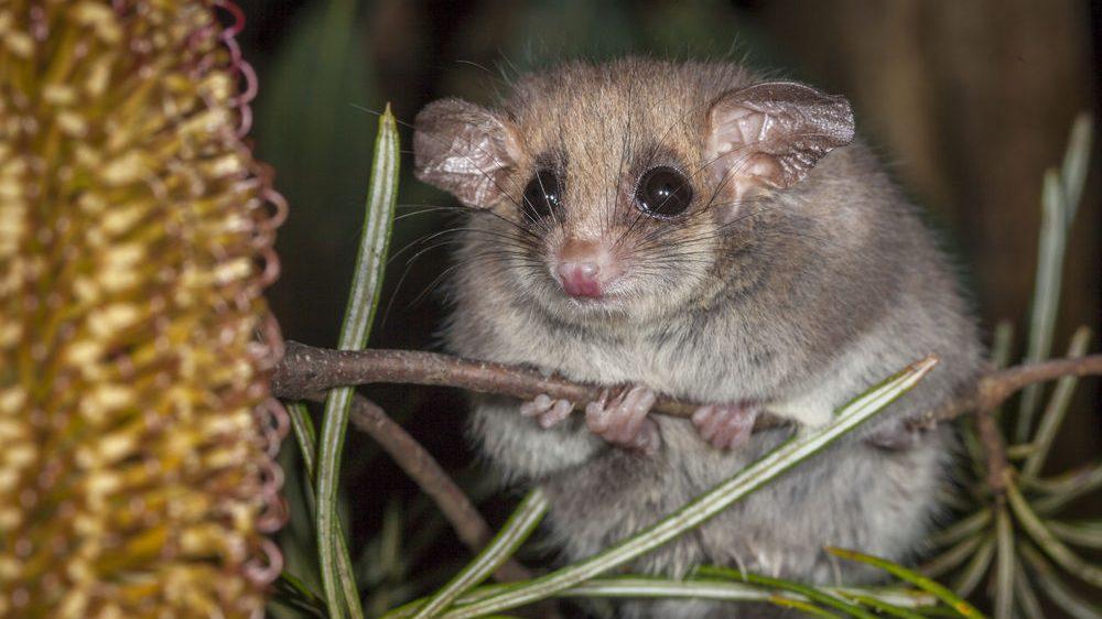 Eastern Pygmy Possum (Cercartetus nanus), University of New England, Armidale, New South Wales, Australia, captive animals