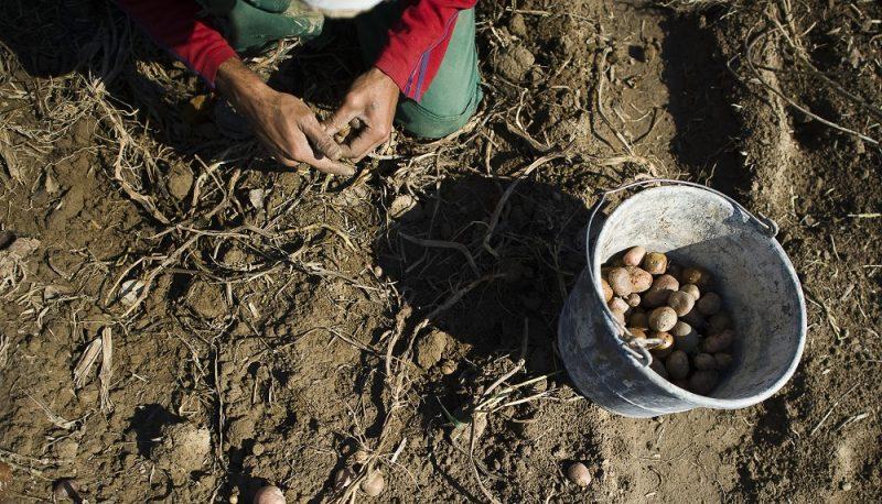 Rozsály, 2012. szeptember 26.  Az önkormányzat dolgozói burgonyát szednek fel Rozsályon 2012. szeptember 26-án. A megtermelt zöldségeket és burgonyát a helyi közétkeztetésben használják fel. Az önellátó falu program egyik mintájaként szolgáló, ma már országosan ismert 800 lakosú szatmári településen gyakorlatilag felszámolták a munkanélküliséget, a 350 munkaképes korú rozsályiból a múlt évben 18-an nem dolgoztak. MTI Fotó: Balázs Attila