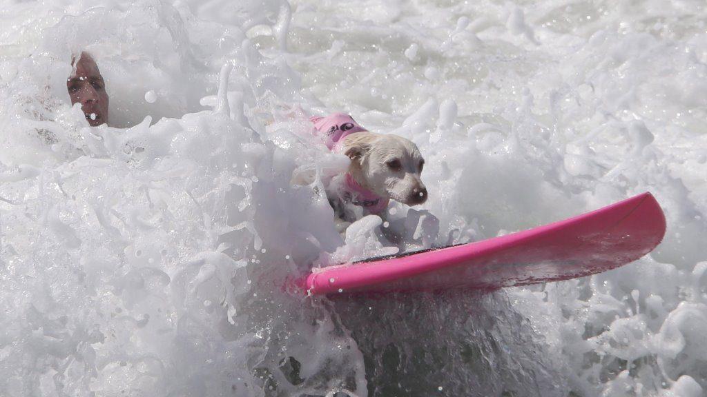 Kutyák hullámlovasversenye