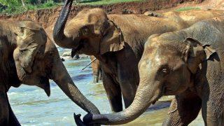 Udavalave, 2007. március 27. Elefántok játszanak az folyóparton az Udavalave Nemzeti Parkban 2007. március 19-én. Az elmúlt tíz évben közel 150 ormányost pusztítottak el évente a szigetországban, amelynek elefántpopulációja így ötezerre fogyatkozott a XX. század elején még 20 ezres állománnyal szemben. (MTI/EPA/ALAA BADARNEH)