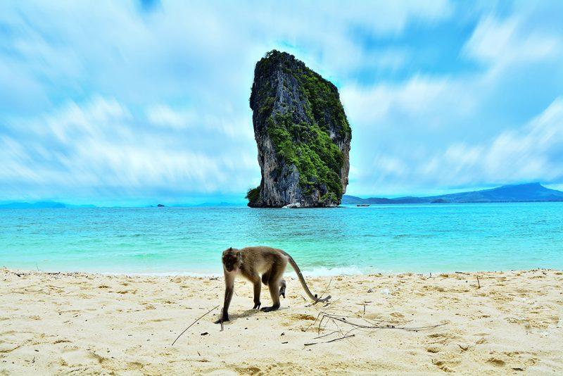 A monkey walking at the beach