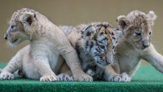 Lajosmizse, 2016. szeptember 20. Együtt nevelkedik Szonja, a négyhetes nőstény tigris (k) - Jana és Szibir első szaporulata -, valamint Kora és Fayola, Romániában elárvult két nőstény oroszlánkölyök a lajosmizsei Magán Zoo Állat- és Szabadidőparkban 2016. szeptember 20-án. MTI Fotó: Ujvári Sándor