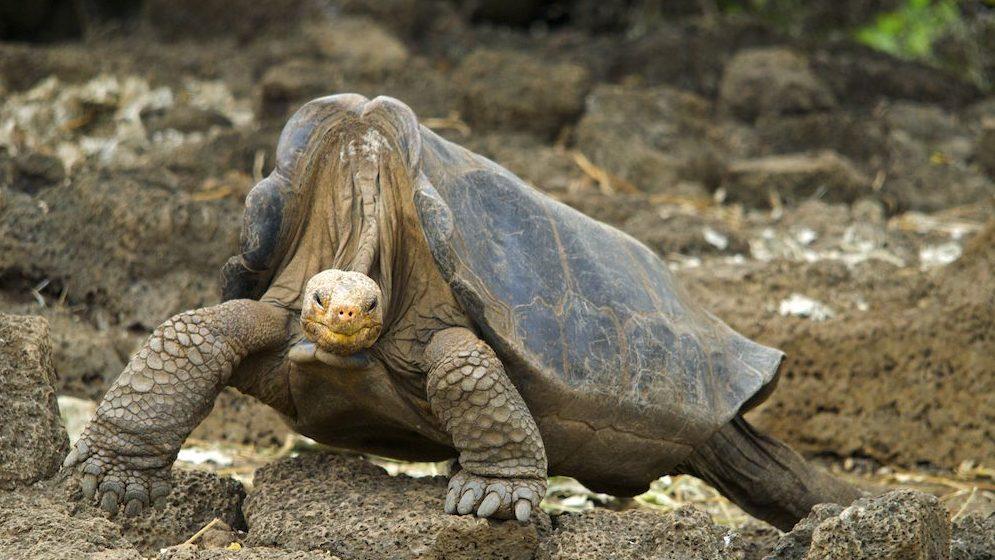 Pinta Island Giant Galapagos Tortoise / Lonesome George (Chelonoidis nigra abingdoni) Portrait Controlled conditions Extinct Santa Cruz Island, Galapagos, Ecuador