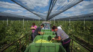 Derecske, 2015. szeptember 9. Munkások golden almát szednek a Bold-Agro Kft. almáskertjében, Derecske határában 2015. szeptember 9-én. MTI Fotó: Czeglédi Zsolt