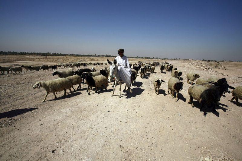 An Iraqi shepherd takes care of his sheep on the outskirts of the holy city of Najaf on July 30, 2016.  / AFP PHOTO / Haidar HAMDANI