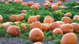 A couple shop for pumpkins from the pumpkin patch at Cal Poly Pomona in Pomona, California on October 28, 2016, ahead of Halloween on Monday October 31. / AFP PHOTO / Frederic J. BROWN