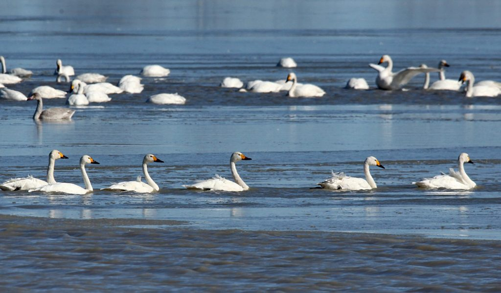 (161105) -- SHIJIAZHUANG, Nov. 5, 2016 (Xinhua) -- A flock of swans swims in water in Shandianhe National Wetland Park in Guyuan County, north China's Hebei Province, Nov. 5, 2016.  (Xinhua/Yang Shiyao) (wyl)