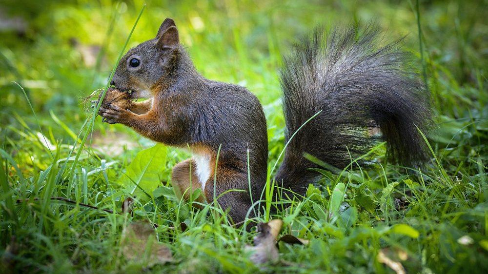 Debrecen, 2015. szeptember 23. Egy európai mókus, más néven vörös mókus (Sciurus vulgaris) egy diót próbál feltörni fogaival a Debreceni Egyetem botanikus kertjében 2015. szeptember 23-án. MTI Fotó: Czeglédi Zsolt
