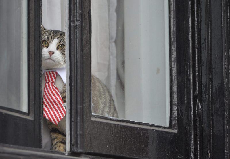 London, 2016. november 14. A WikiLeaks oknyomozó internetes portál ausztrál alapítójának, Julian Assange-nak a nyakkendõt viselõ macskája Ecuador londoni nagykövetségének ablakában 2016. november 14-én. Ezen a napon a svéd ügyészség kihallgatja a nemi erõszakkal, szexuális zaklatással és kényszerítéssel vádolt Assange-t, aki 2012 júniusa óta él a nagykövetségen, hogy elkerülje a kiadatását Svédországnak. (MTI/EPA/Hannah McKay)