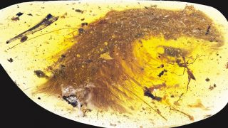 """This image released by the Royal Saskatchewan Museum in Canada shows a dinosaur tail complete with its feathers trapped in a piece of amber. """"The new material preserves a tail consisting of eight vertebrae from a juvenile; these are surrounded by feathers that are preserved in 3D and with microscopic detail,"""" says Ryan McKellar of the Royal Saskatchewan Museum. """"The new material preserves a tail consisting of eight vertebrae from a juvenile; these are surrounded by feathers that are preserved in 3D and with microscopic detail,"""" says Ryan McKellar of the Royal Saskatchewan Museum. Researchers have discovered the partial tail of a feathered dinosaur that was preserved in amber some 99 million years ago, according to a study released December 8, 2016. / AFP PHOTO / Royal Saskatchewan Museum / HO / RESTRICTED TO EDITORIAL USE - MANDATORY CREDIT """"AFP PHOTO / Royal Saskatchewan Museum (RSM/ R.C. McKellar)"""" - NO MARKETING NO ADVERTISING CAMPAIGNS - DISTRIBUTED AS A SERVICE TO CLIENTS"""