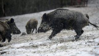 Salgótarján, 2015. január 10.Vaddisznók (Sus scrofa) az Ipoly Erdő Zrt. somoskői vadasparkjában, Salgótarjánban 2015. január 10-én, ahol télen etetik a vadakat.MTI Fotó: Komka Péter