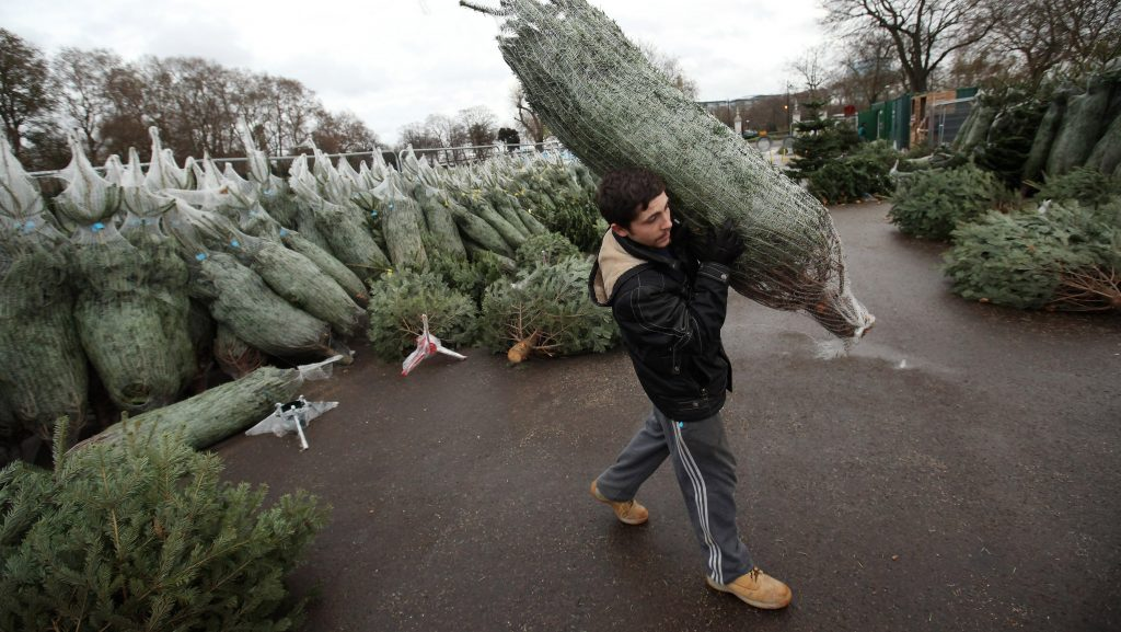 LONDON, ENGLAND - DECEMBER 08:  A Christmas tree salesman arranges his stock at The Royal Hospital Chelsea on December 8, 2011 in London, England. Despite the UK's uncertain economic outlook, sales in Christmas trees have been strong this year with some retailers reporting a 50% increase.  (Photo by Oli Scarff/Getty Images)
