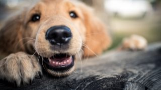 A young golden retriever puppy is excited and does not hide it.