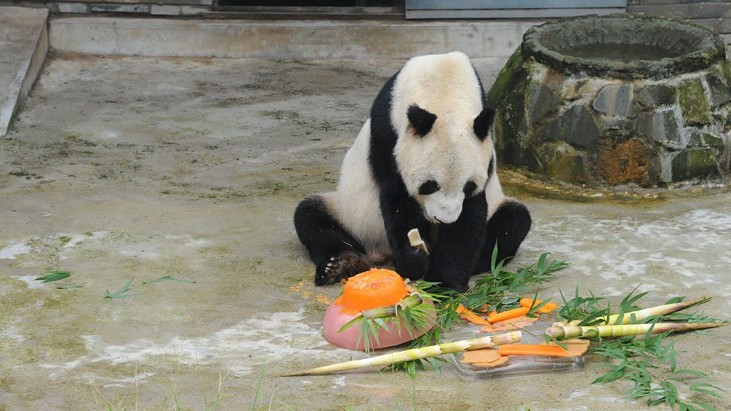 """CHENGDU, CHINA - SEPTEMBER 02:  The male panda """"Panpan"""" eats his birthday present - """"bamboo cake"""" during her 31st birthday celebration on September 2, 2016 in Chengdu, Sichuan Province of China. """"Panpan"""", the eldest male panda in the World, celebrated his 31-year-old birthday at the Panda Conservation Center in Chengdu. One year for a panda is equivalent to three or four years for a human being.  (Photo by VCG/VCG via Getty Images)"""
