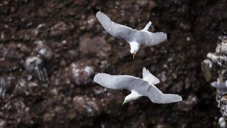 kittiwakes (Rissa tridactyla). Scotland.    Biosphoto / Alain Roux