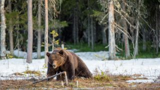 Wild Adult Brown Bear (Ursus arctos) on a bog in spring forest.