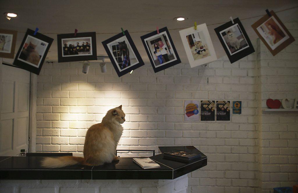 Damansara, 2017. február 8.Macska ül egy pulton a malajziai Damansarában lévő Catzonia macskahotelben 2017. február 7-én. A tulajdonosok három órától egy évig foglalhatnak szobát házikedvencüknek az ötcsillagos, 35 szobás macskahotelben, ahol 24 órás felügyeletet, ellátást és játékos foglalkozást biztosítanak számukra. (MTI/EPA/Fazry Ismail)