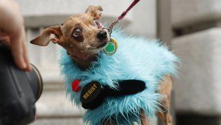 """San Francisco, 2017. február 8. """"Állj ellen"""" feliratú mellényt visel egy Doggie nevû kutya a Donald Trump amerikai elnök bevándorláspolitikáját ellenzõ tüntetésen a San Franciscó-i fellebbviteli bíróság épülete elõtt 2017. február 7-én. A bíróság két nappal korábban elutasította az igazságügyi minisztérium arra vonatkozó kérését, hogy azonnal helyezze hatályon kívül a beutazási tilalmi rendelet felfüggesztését. (MTI/EPA/David Fernández)"""