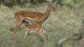 Aepyceros melampus / Impala ©GUERRIER A/HorizonFeatures/Leemage