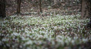 Alcsútdoboz, 2017. március 5. Hóvirágok az Alcsúti Arborétumban Alcsútdobozon 2017. március 5-én. MTI Fotó: Bodnár Boglárka