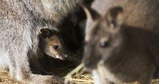 Nyíregyháza, 2017. március 23. Három hónapos Bennett-kenguru (Macropus rufogriseus) anyja erszényében a Nyíregyházi  Állatparkban 2017. március 23-án. A Sóstó ZOO tíztagú Bennett-kengurucsapatában öt nõsténynek született utódja decemberben. MTI Fotó: Balázs Attila