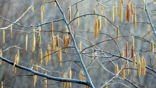 Természet - Virágzik a mogyoró Pécsett