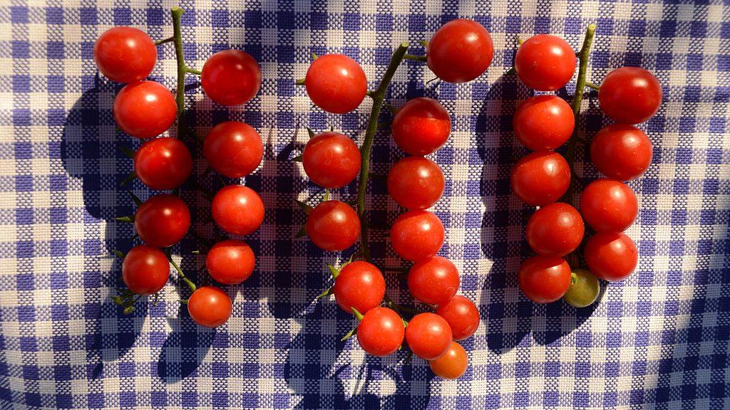 (GERMANY OUT) Kirsch-Tomaten, Solanum lycopersicum, rote Gemuesepflanze,  61761D4639  (Photo by Rainer Binder/ullstein bild via Getty Images)