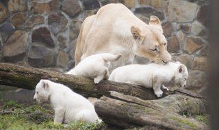Nyíregyháza, 2017. március 7. A Binti nevû nõstény oroszlán és kéthónapos, fehér oroszlánkölykei (Panthera leo krugeri) a Nyíregyházi Állatparkban 2017. március 7-én. A 2015-tõl együtt élõ tenyészpárnak január 8-án születtek hármas ikrei és most elõször engedték ki a kölyköket a kifutóba. A fehér alfajt a természetben 1994-ben látták utoljára, a világ állatkertjeiben és rezervátumaiban összesen 500 egyed él. MTI Fotó: Balázs Attila