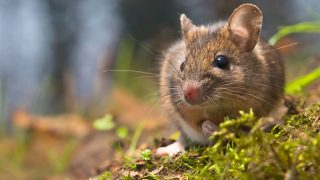 Wild wood mouse in natural habitat