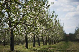 Újfehértó, 2012. április 23. Virágzik a jonagold almafa az Újfehértói Gyümölcstermesztési Kutató és Szaktanácsadó Nonprofit Közhasznú Kft. kertjében. A tíz napja történt fagy káraira nehéz még következtetni, az almafák mindenütt virágzanak, sok virágban ugyanakkor károsodtak az ivarszervek, így azokból termés biztosan nem lesz. MTI Fotó: Balázs Attila