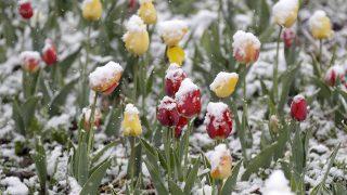 Wolfratshausen, 2017. április 18.Hólepte tulipánok a bajorországi Wolfratshausenben 2017. április 18-án. (MTI/AP/ Matthias Schrader)
