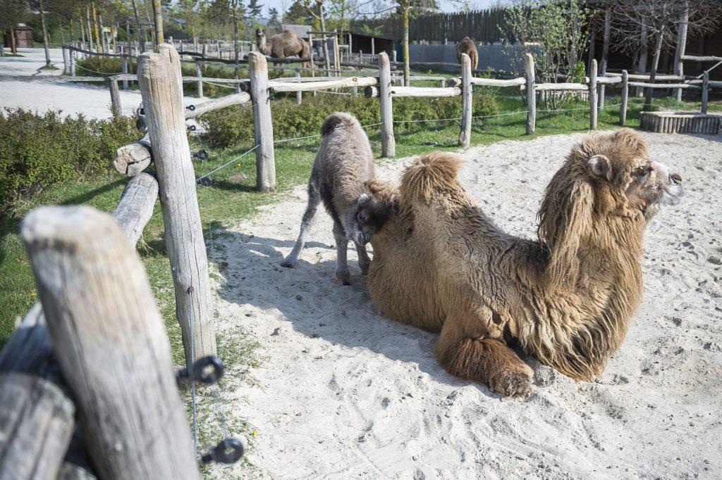 Veszprém, 2017. április 12. Tizenkét napos tevecsikó anyjával a veszprémi állatkertben 2017. április 12-én. MTI Fotó: Bodnár Boglárka