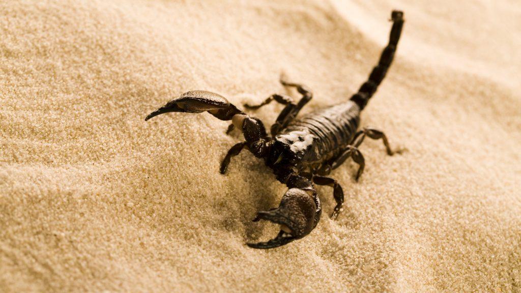 Scorpions are eight-legged carnivorous arthropods.