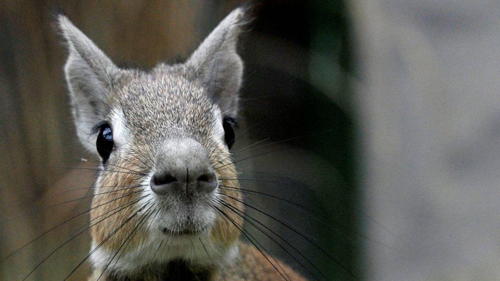 Budapest, 2017. május 5. Törpe mara (Dolichotis salinicola) a Fácánház egyik kifutójában 2017. május 5-én. Három törpe mara érkezett egy csehországi állatkertbõl a Fõvárosi Állat- és Növénykertbe. A Dél-Amerikában õshonos rágcsálófélét - a régi idõk állatállományára vonatkozó feljegyzések szerint – eddig még soha nem tartották magyarországi állatkertben. MTI Fotó: Kovács Attila