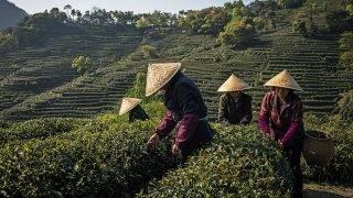 Lungcsing, 2017. május 24.Lungcsing (sárkánykút) teát szüretelnek idénymunkások a Csöcsiang tartománybeli Hangcsou közelében fekvő Lungcsing falu határában lévő teaültetvényen 2017. április 14-én. Egy legenda szerint a tea jótékony hatását Buddha, egy másik szerint Sen Nung kínai császár fedezte fel Kr. e. 2737-ben. Napjainkban Kína a világ legnagyobb teatermesztője, 2016-ban 2,43 millió tonna termett az ázsiai országban, ahol mintegy 80 millió ember megélhetése a teához kötődik. A kínaiak hite szerint a tea elkészítése és fogyasztása magasabb szintre emeli az emberi szellemet és bölcsességet. (MTI/EPA/Roman Pilipej)