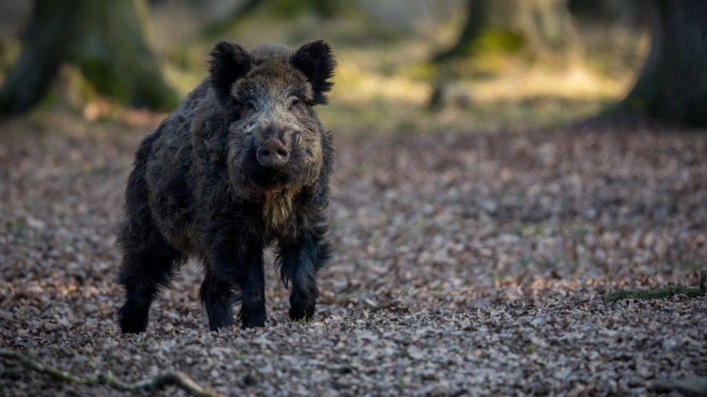 Wild boar male in the forest/wild animal in the nature habitat/Czech Republic