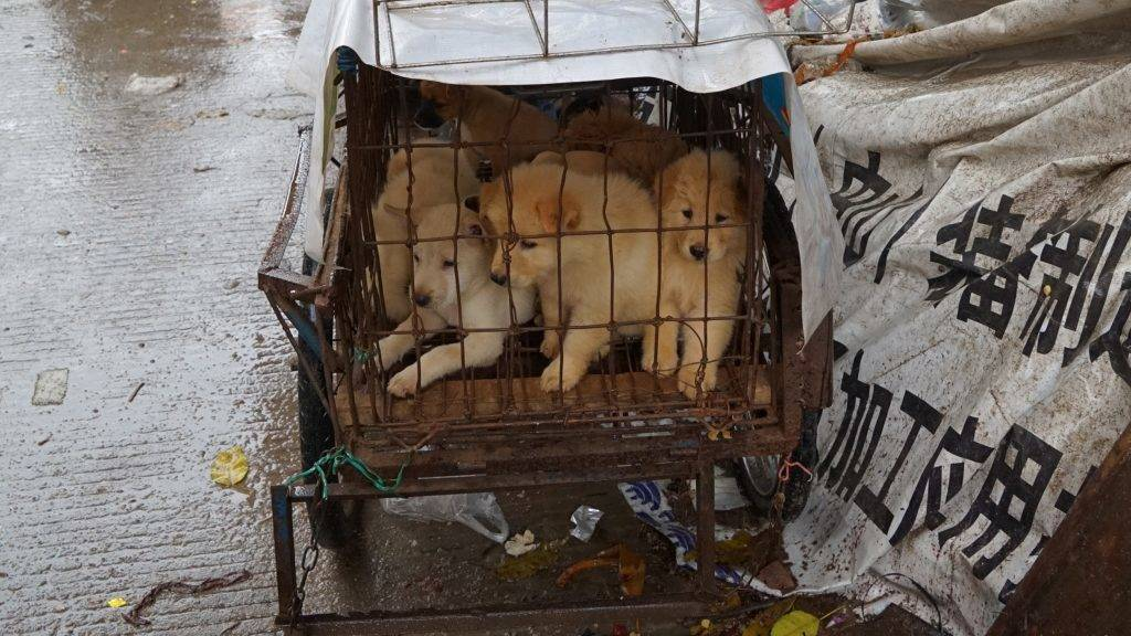Puppies are seen in a cage at a dog meat market in Yulin, in China's southern Guangxi region on June 21, 2017.  China's most notorious dog meat festival opened in Yulin on June 21, 2017, with butchers hacking slabs of canines and cooks frying the flesh following rumours that authorities would impose a ban this year. / AFP PHOTO / STR / CHINA OUT