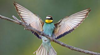 Lambsheim, 2017. május 30. Gyurgyalag (Merops apiaster) csapkod a szárnyával egy ágon az észak-németországi Lambsheim település közelében 2017. május 29-én. A méhészmadár néven is ismert gyurgyalag nyaranta elõszeretettel költ északnyugat-németország egyes részein, az utóbbi pár évben Észak-Rajna-Vesztfália tartományban legkevesebb 239 fészkelõ párt tartanak számon. (MTI/EPA/Ronald Wittek)